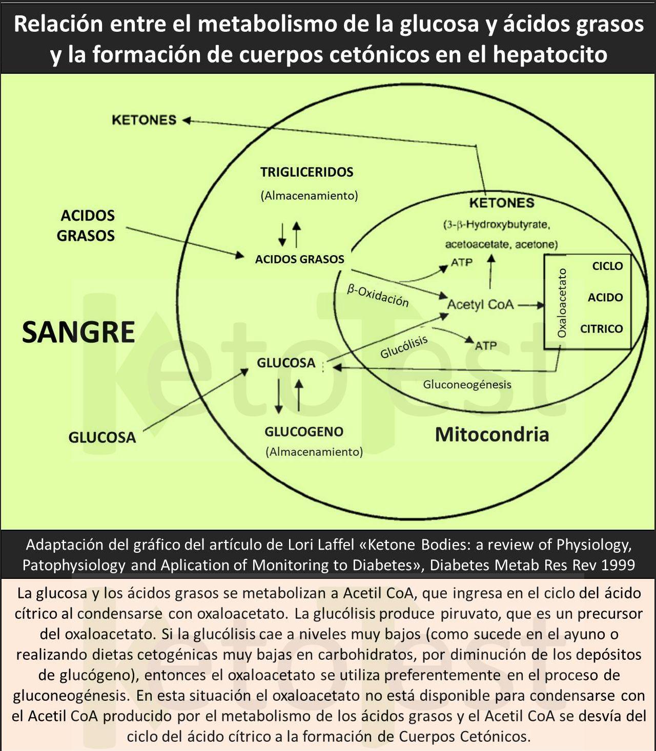oxidación de ácidos grasos cuerpos cetónicos y diabetes